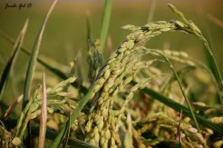 Espiga d'arròs