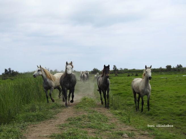 Cavalls a Buda