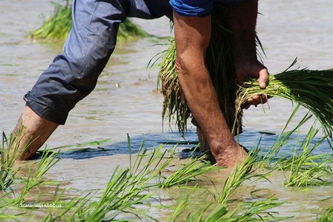 Plantada tradicional