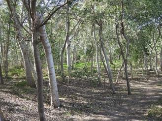 Bosc de ribera. Ruta de Migjorn